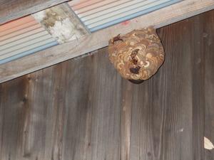 郡山市で物置の天井のスズメバチの巣.jpg