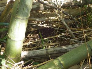 郡山市で竹林でスズメバチが往来.jpg