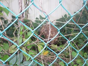 郡山市で落下したスズメバチの巣.jpg