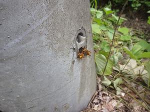 郡山市で電柱の中にスズメバチの巣.jpg