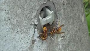 郡山市で電柱の穴から出入りするスズメバチ.png
