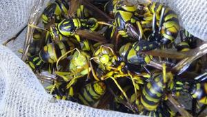 郡山市で駆除したアシナガバチ.jpg