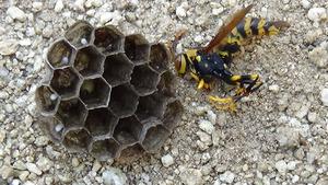 郡山市で駆除したアシナガバチの巣.jpg