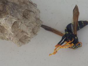 郡山市で駆除したアシナガバチの巣と女王蜂.jpg