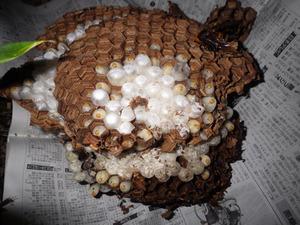 郡山市で駆除したオオスズメバチの巣.jpg