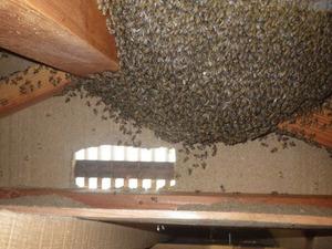 郡山市で駆除した屋根裏の大きなミツバチの巣.jpg