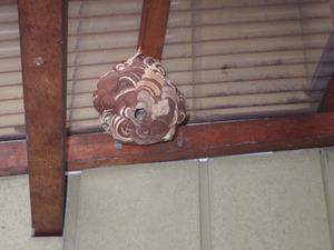 郡山市で2月に駆除依頼された蜂の巣(コガタスズメバチの巣).jpg