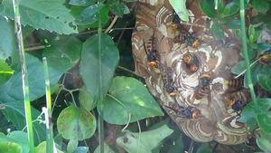 鏡石で雑草を引っ張ると巣からゾロゾロと出てきたスズメバチ.jpg