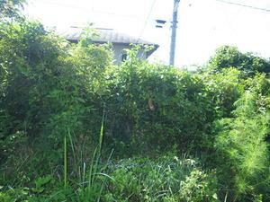 鏡石町でコガタスズメバチの巣がある生垣にからまる雑草.jpg