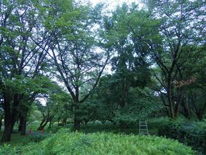 鏡石町でスズメバチの巣があった公園樹木.jpg