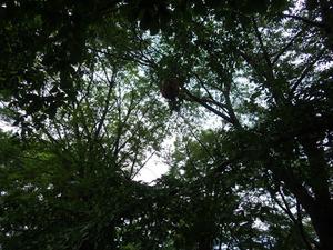 鏡石町で枝葉のスズメバチの巣駆除.jpg