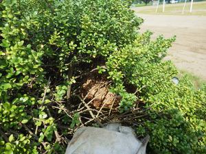 鏡石町で生垣のスズメバチの巣.jpg