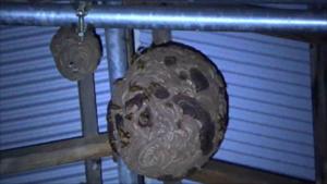 須賀川市で天井に並ぶ2つのスズメバチの巣.png