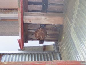 須賀川市で軒下に作ったスズメバチ(コガタスズメバチ)の巣.jpg