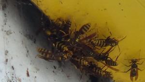 須賀川市で隙間に群がるアシナガバチ.jpg