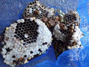 駆除したスズメバチの巣の中は白いまゆをかぶった蛹で一杯(郡山市).jpg