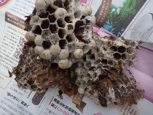 駆除したヒメスズメバチの巣.jpg