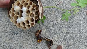 駆除した生垣のコガタスズメバチの巣(須賀川市).jpg