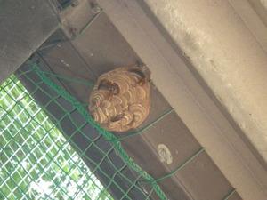 駆除に失敗して巣が再生されたキイロスズメバチの引っ越し巣(郡山市、2013年8月21日).jpg