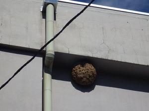 高さ13mに作った巨大なキイロスズメバチの巣(福島県).jpg