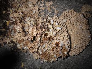 高さ15mほどの所にあったキイロスズメバチの巣を駆除(本宮市).jpg