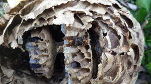 1匹のスズメバチの死骸が昨年の巣の巣穴に貼りついている様子(田村市).jpg