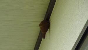 1階の軒下にあったコガタスズメバチの初期巣(須賀川市).jpg