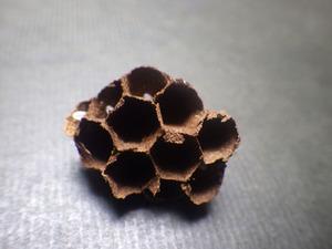 2階のベランダにあったコガタスズメバチの初期巣の育房室(郡山市).jpg